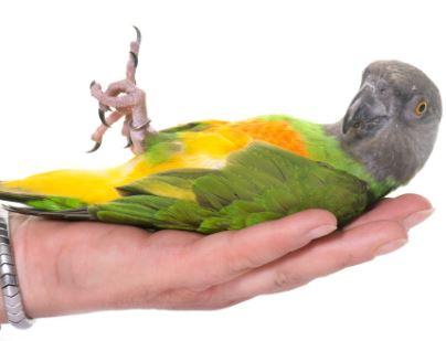 loro senegales como mascota, jugando con mi loro you you
