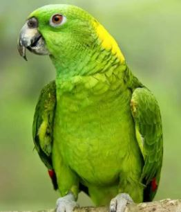 loro amazonas nuca amarilla, subespecies del loro amazonas, loro verde
