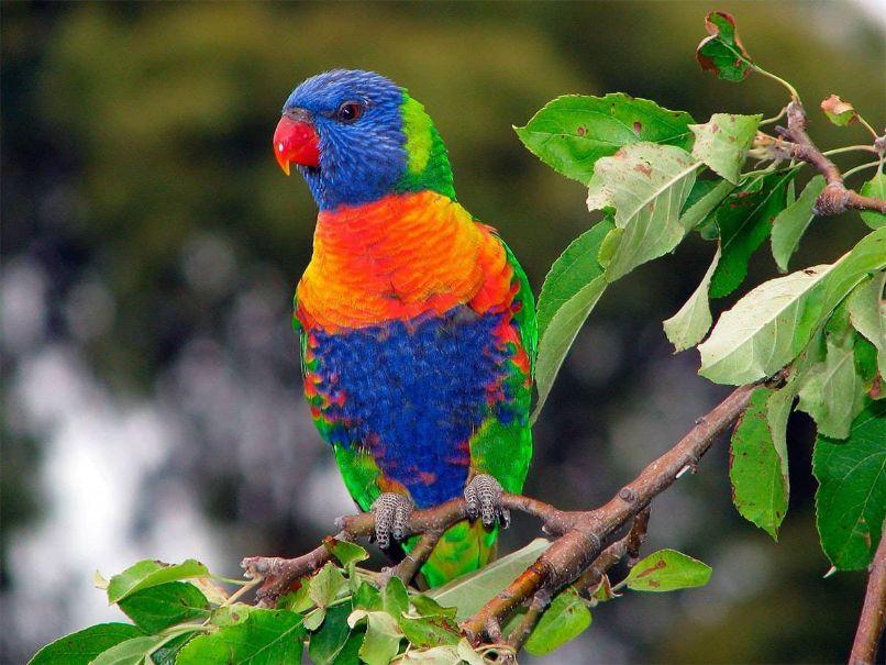 la alimentación del loro arcoiris, perico arcoiris