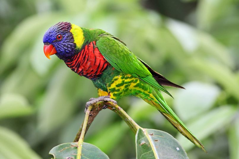 descripción y características principales de los loro arcoiris, cotorra arcoiris