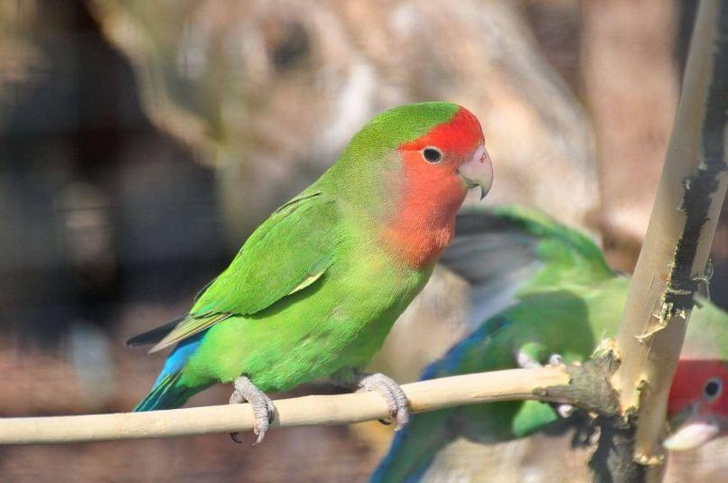 inseparable de namibia o agapornis roseicollis verde en pareja