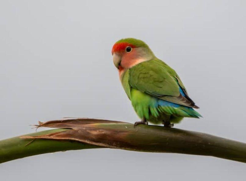 agapornis roseicollis es capaz de hablar, agarponis de namibia posado en rama.