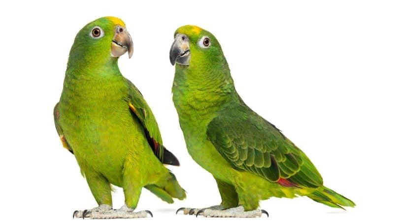 características del loro amazonas, pareja de bellos loros amazonas, cotorra verde y amarilla