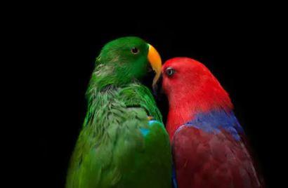 aves compatibles con loros