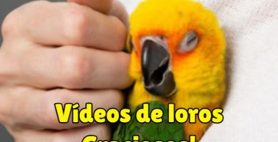 videos de loros graciosos y muy divertidos