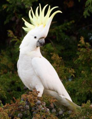 las cacatúas son los loros blancos con cresta amarilla
