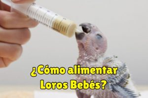 como alimentar loros bebés
