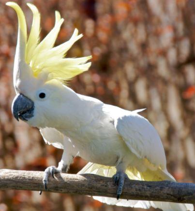 imágenes de Loro blanco con cresta amarilla, loros con cresta amarilla