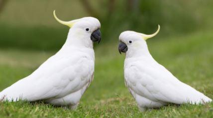 Loro blanco con cresta amarilla, loros con cresta amarilla