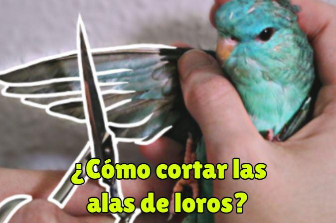 como cortar las alas de los loros?, se deben cortar las alas de loros?, no se debe cortar las alas de un loro