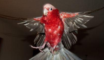 no se debe cortar las alas de los loros, cortar las alas de un loro es un maltrato