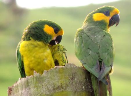 El loro orejiamarillo originario de Colombia