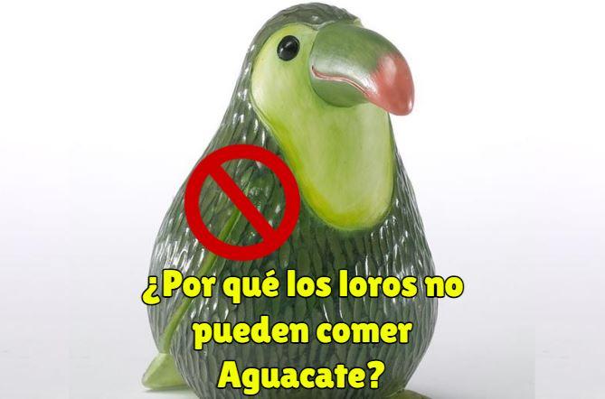 por que los loros no pueden comer aguacate o palta, el aguacate es tóxico para nuestros loros y no lo pueden comer nunca.