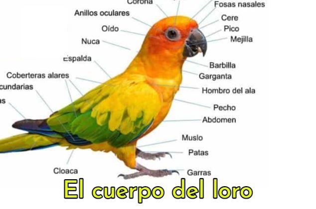 como es el cuerpo de los loros, como es el cuerpo de un loro, partes del cuerpo, anatomía del loro perico o cotorros