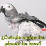 cuando mudan las plumas los loros, en que epoca mudan los loros sus plumas, cambio de plumas en los loros