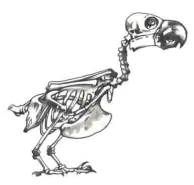 esqueleto de los loros, los huesos de los loros