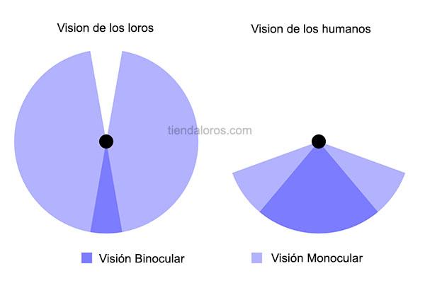 la vision de los loros es monocular, como es la vision de los loros o pericos, vision de las aves