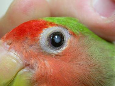 cataratas en los loros, tratamiento y prevención de las enfermedades y trastornos oculares de los loros