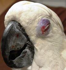 desordenes comunes en los ojos de las aves.png