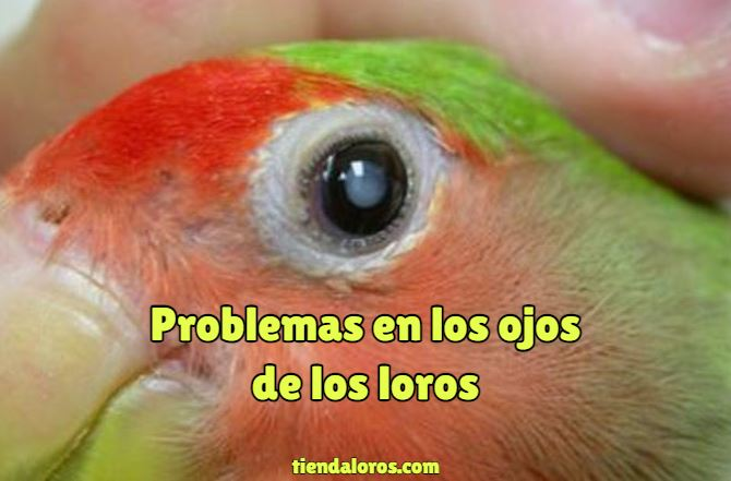 problemas en los ojos de los loros, enfermedades comunes en los ojos de pericos cotorros