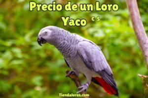 precio loro yaco, cuanto cuesta un loro yaco, valor del loro gris africano cola roja, loro policía