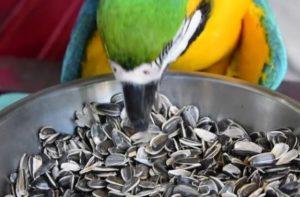 cuando y como deben comer semillas los loros, que semillas debe comer un cotorro, que semilla es perjudicial para los pericos