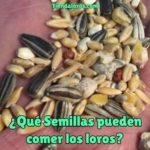 que semillas pueden comer los loros, que semillas comen los loros? semillas saludables para cotorras, es bueno dar semillas para pericos