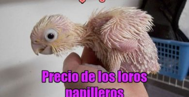 precio de loros papilleros, precio de un loro papillero, cuanto cuesta un loro papillero? precio de los loros papilleros