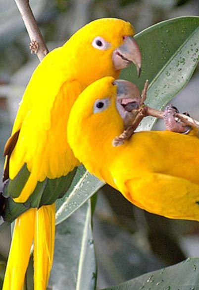por que los loros cotorros o periquitos comen sus heces, por que comen su popo