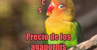 precio de los agapornis, cuanto cuestan los agapornis inseparables, tortolitos, pájaros del amor, lovebirds